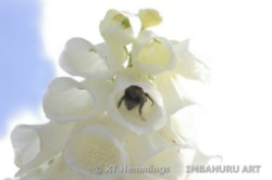 [Bumble bee visiting a white foxglove]