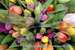 [Tulips for sale in the flower market in Amsterdam]